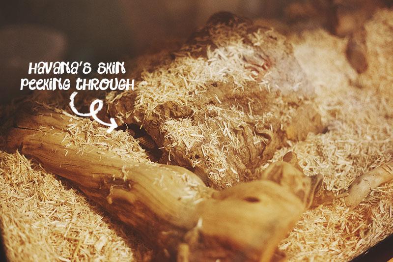 python regius sleeping in hide