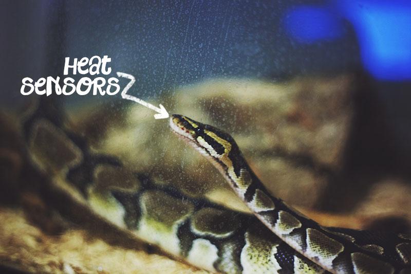 heat sensors of a royal python