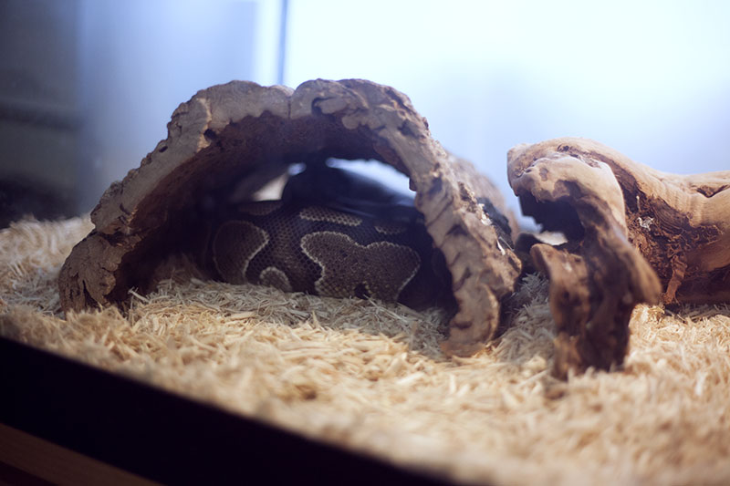 Do Ball Pythons Have to Sleep in a Hide?