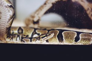 female-ball-python-parthenogenesis