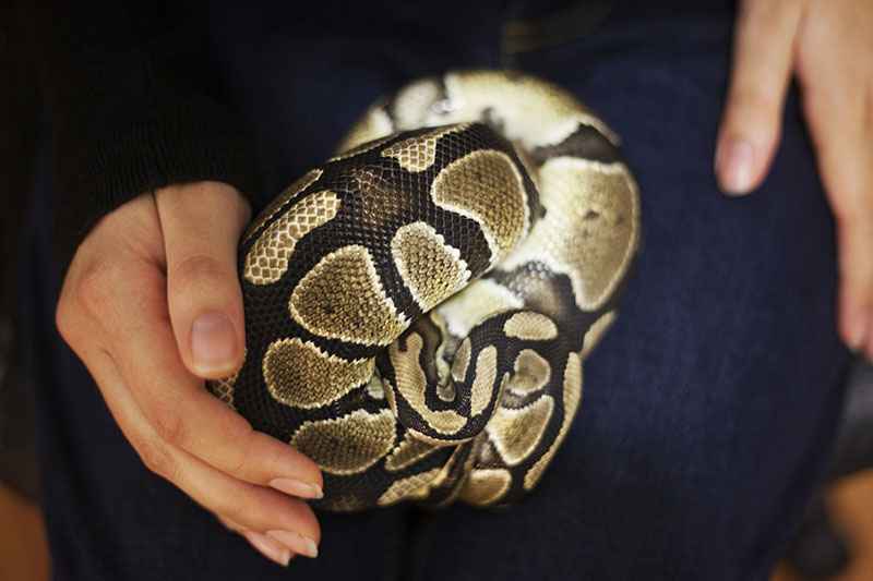 royal python affectionate stroking and petting