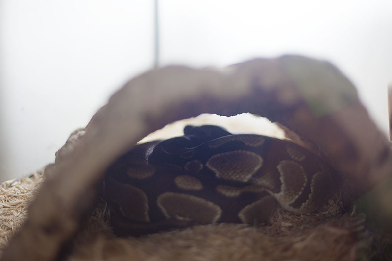 ball python fallen asleep in hide