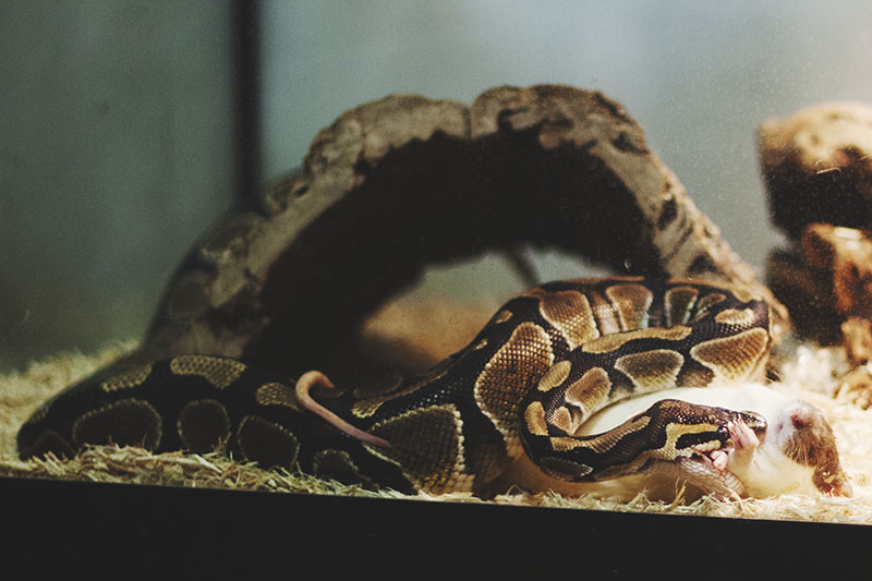 royal python refusing to eat