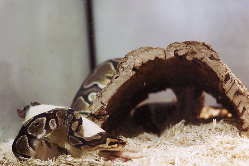 python regius not eating rat